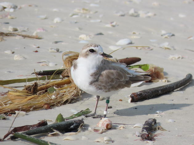 Snowy Plovers Nest Once Again on Siesta Key