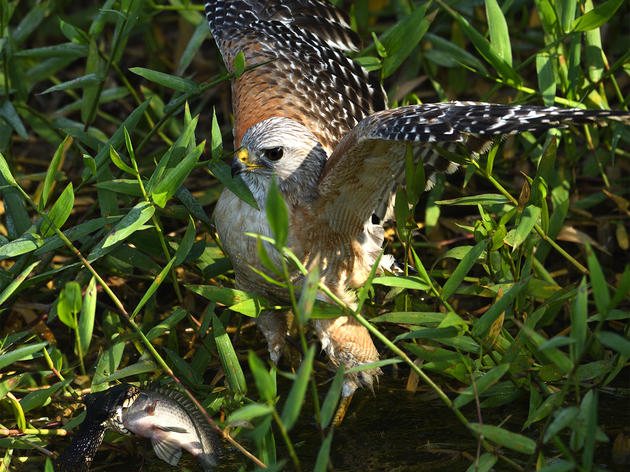 Hawks Steal Fish From Snakes, But Why?