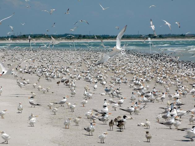 2016 Florida coastal nesting birds successful despite two tropical weather systems