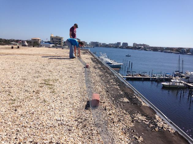 Least Terns Return to Nest on Panhandle Rooftops