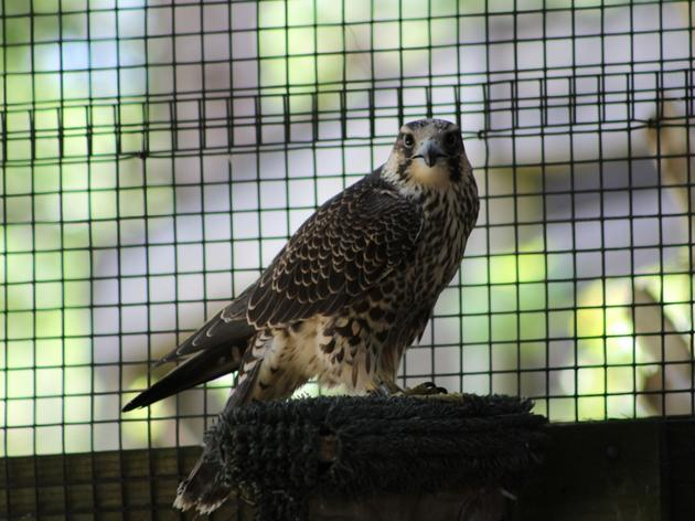 Peregrine Falcon Needs a Name!