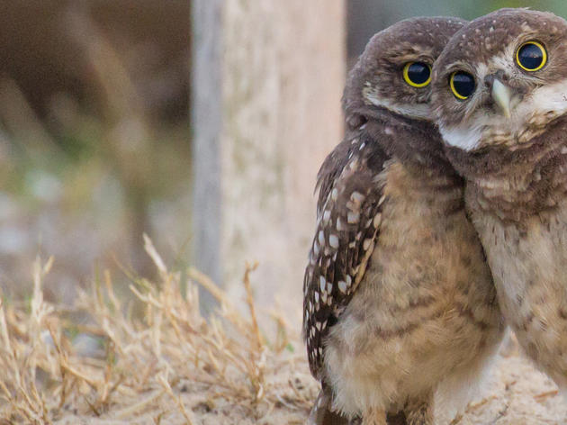 State Begins Updating Burrowing Owl Protections
