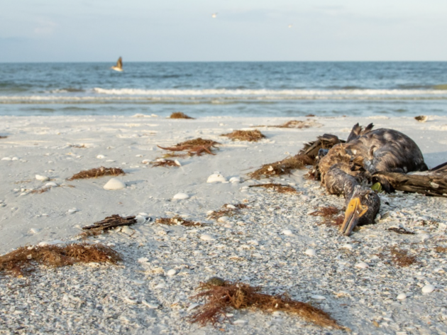 Red Tide Wreaks Havoc along Marco Island, Naples, and Ft. Myers