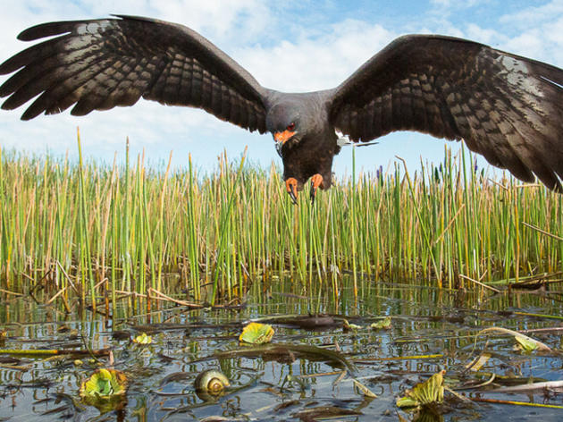 Terrible News: All Endangered Everglade Snail Kite Nests Lost on Florida's Lake Okeechobee