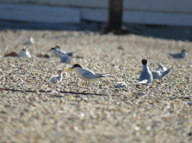 Gravel Rooftops Provide Crucial Habitat for Nesting Seabirds and Shorebirds