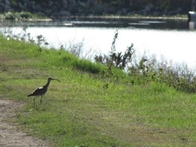 The Fascinating Journey of Machi, A World Traveling Whimbrel