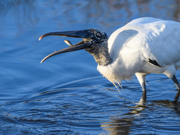 Wading Birds Give Hope to America's Everglades