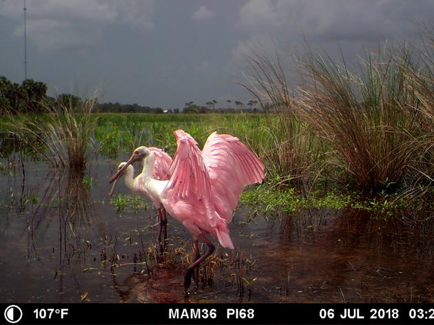 Glimpses from the Corkscrew Swamp Sanctuary Trail Camera
