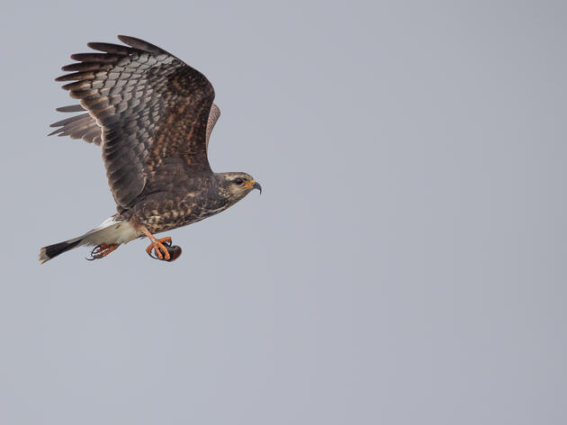 Snail Kites Face another Difficult Nesting Year on Lake Okeechobee