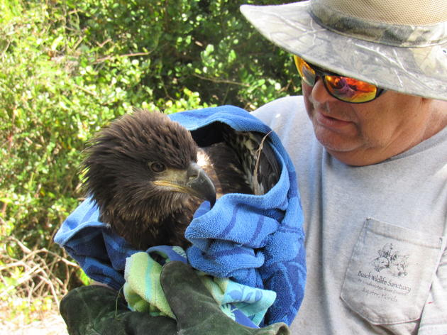 Volunteers Give Eaglet a Second Chance at Life
