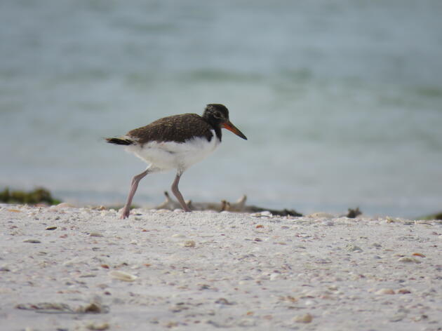 American Oystercatchers: Working Across the State to Protect this Vulnerable Shorebird