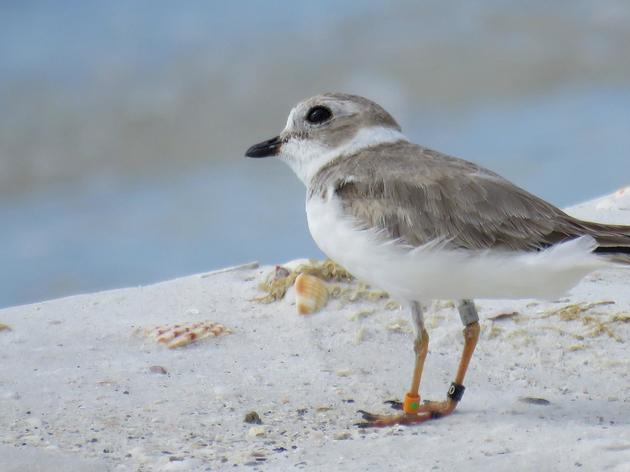 Found! First Pennsylvania Great Lakes Plovers Fledged in 60 Years, Resighted Wintering in Florida Protected Areas