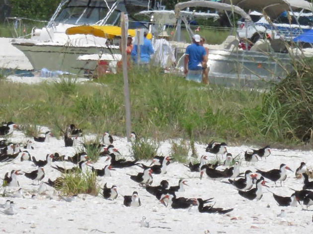 A Memorial Day for the Birds at Big Marco Pass Critical Wildlife Area in Naples, Florida
