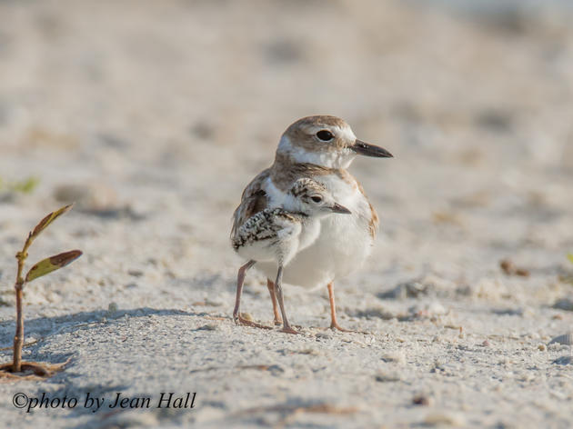An Improved Nesting Season for Seabirds and Shorebirds
