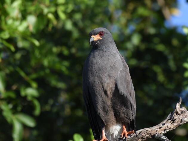 Improving Critical Habitat for Endangered Everglade Snail Kites