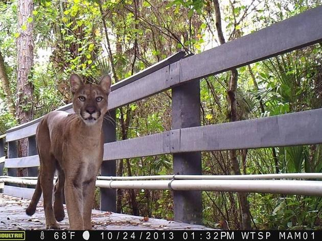 VIDEO: Close Encounter with a Florida Panther on the Corkscrew Boardwalk