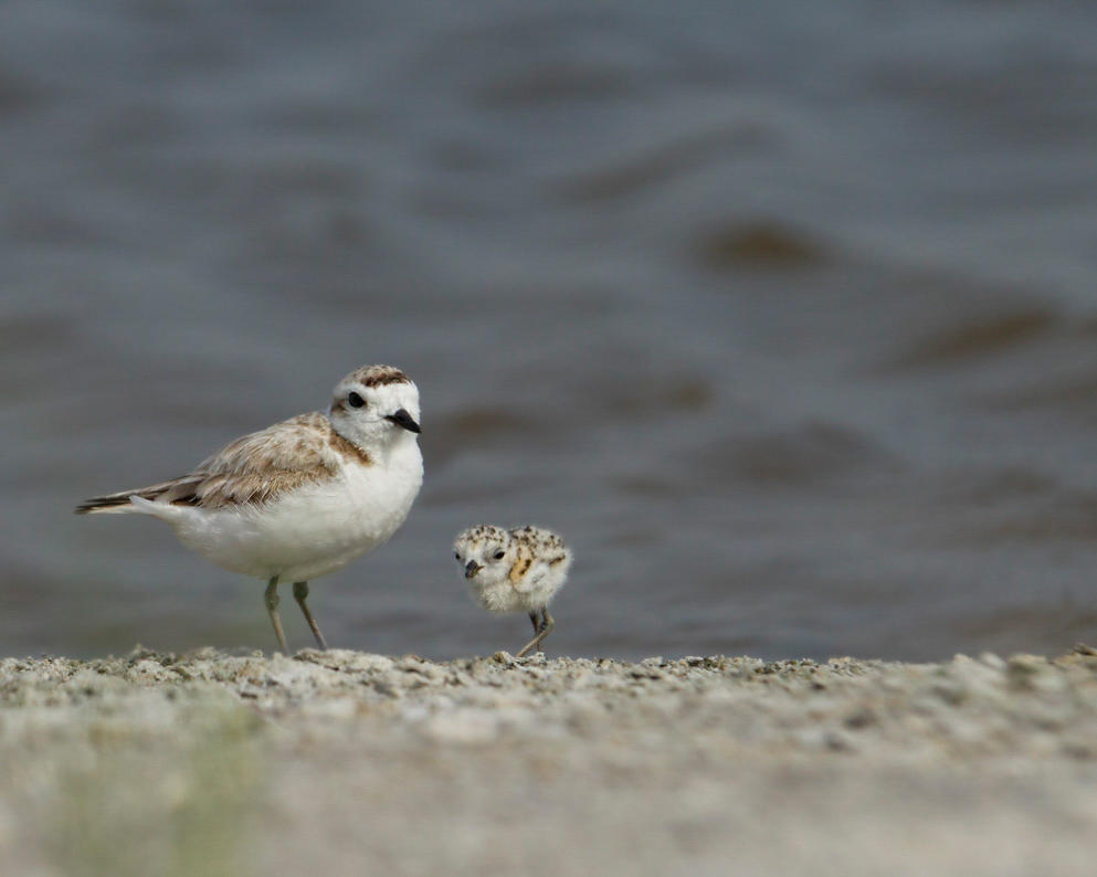 Snowy Plover and Chick. Photo: Kathy Cline/Audubon Photography Awards.