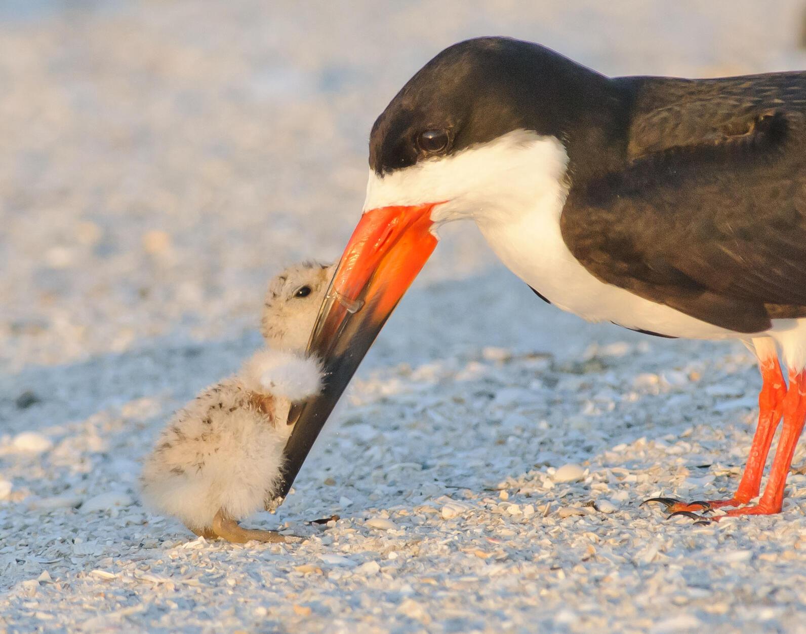 Black Skimmer and chick. Photo: Jim Gray/Audubon Photography Awards