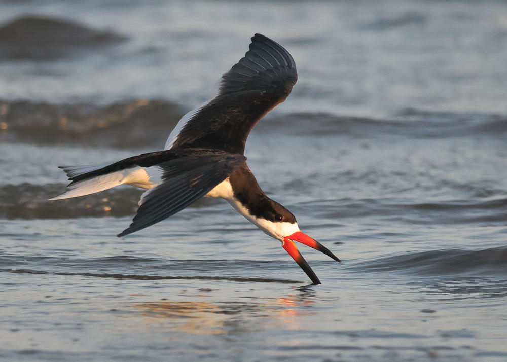 Black Skimmer. Photo: Steve Kendall/Audubon Photography Awards.