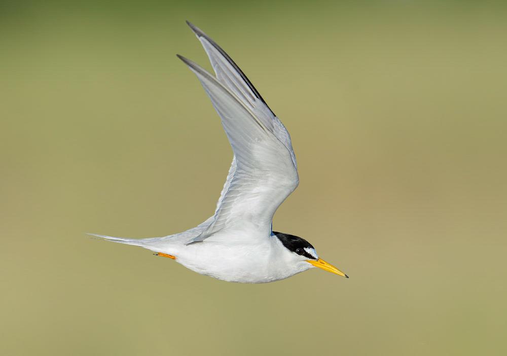 Least Tern. Photo: William Dix/Audubon Photography Awards.
