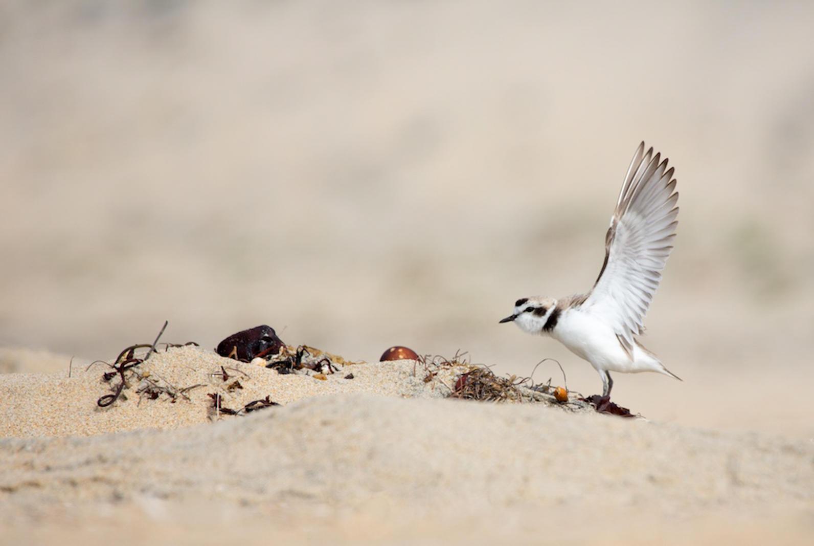Snowy Plover. Photo: Alena Ebeling Schuld / Audubon Photography Awards.