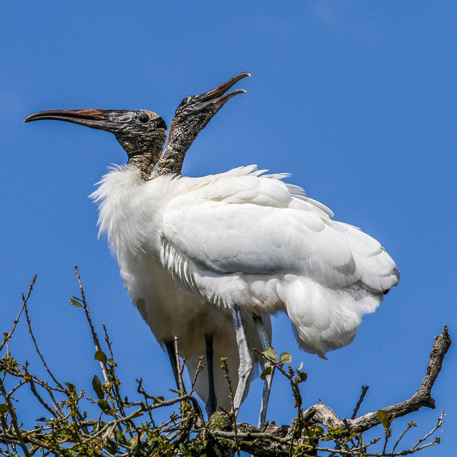 Two wood storks