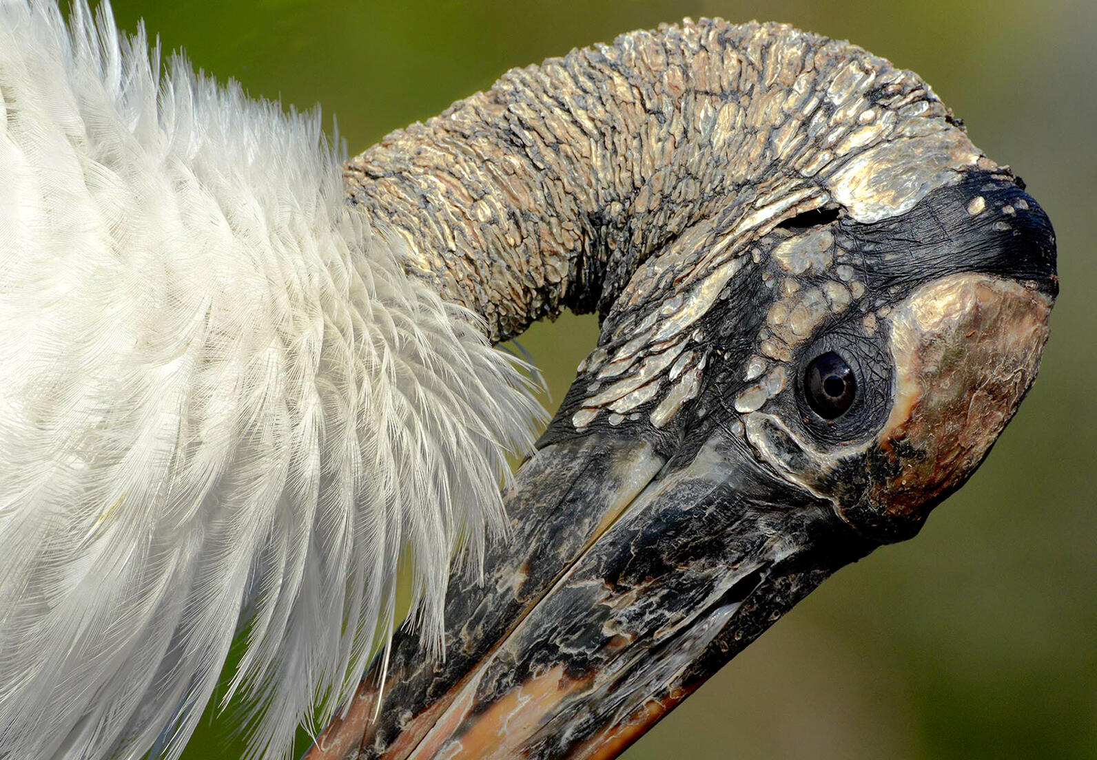 Wood Stork Photo: Karen Mason.