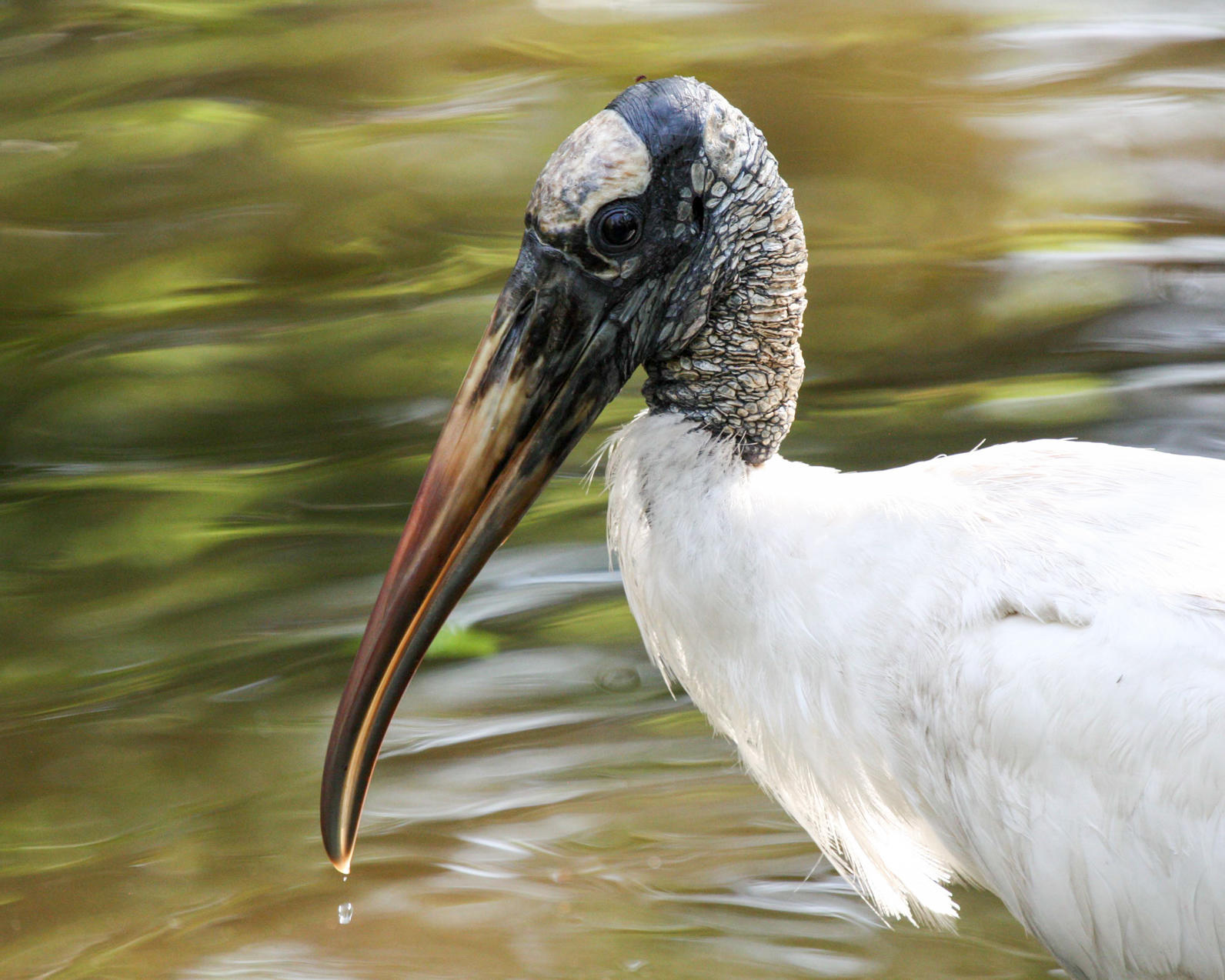 Species: Wood Stork. Photographer: Misty Nelson