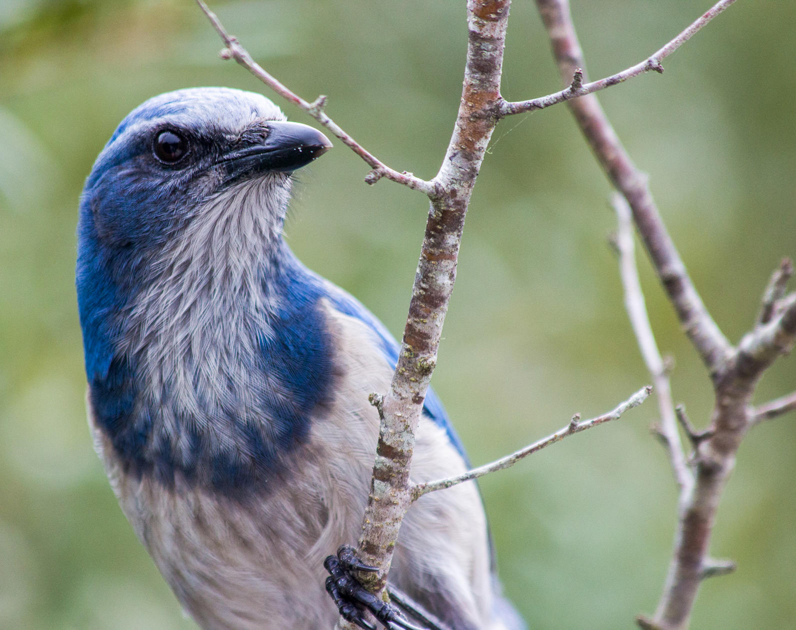 Photo of Florida Scrub-Jay