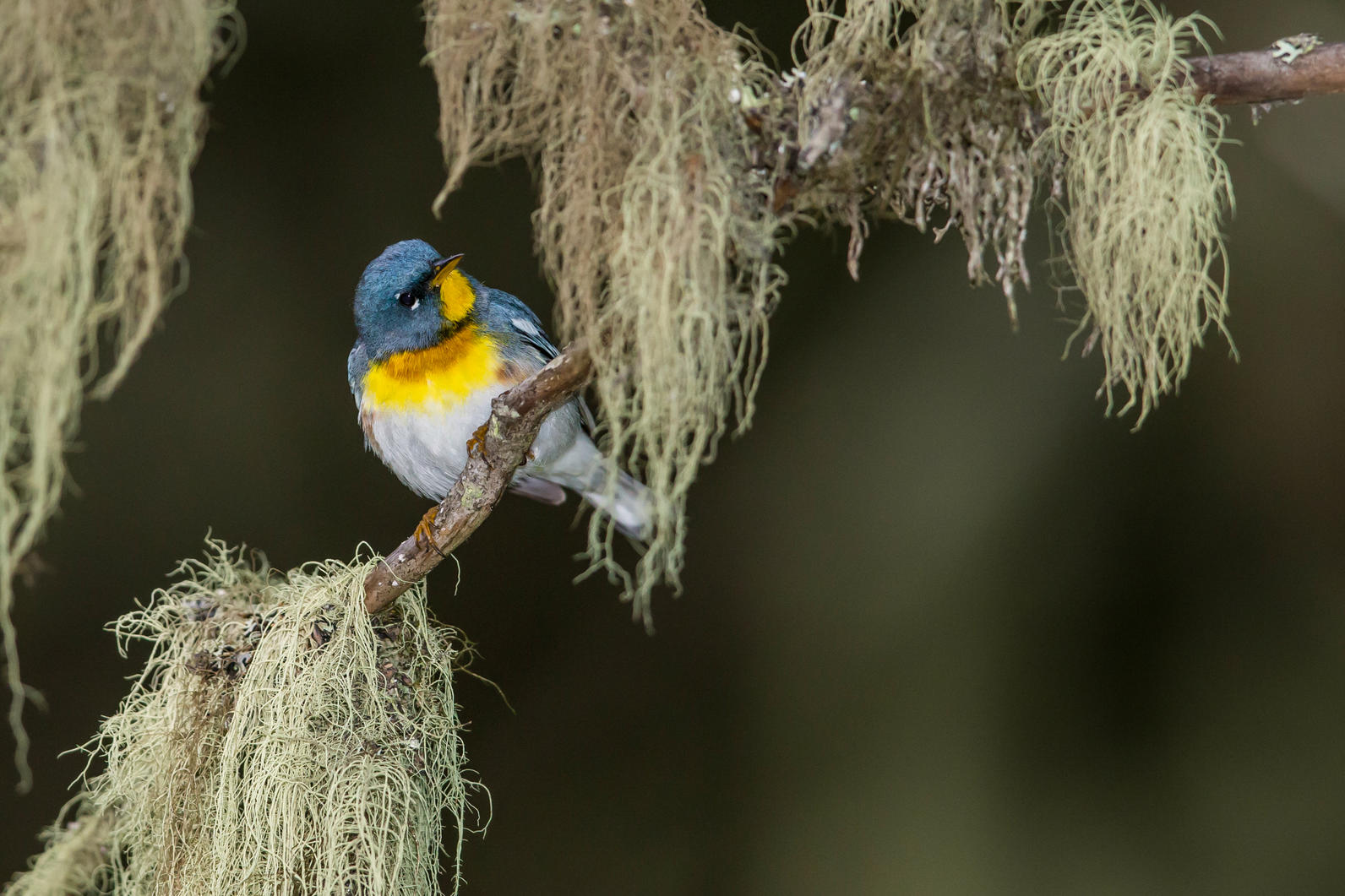 Northern Parula. Photo: Arni Stinnissen/Audubon Photography Awards.