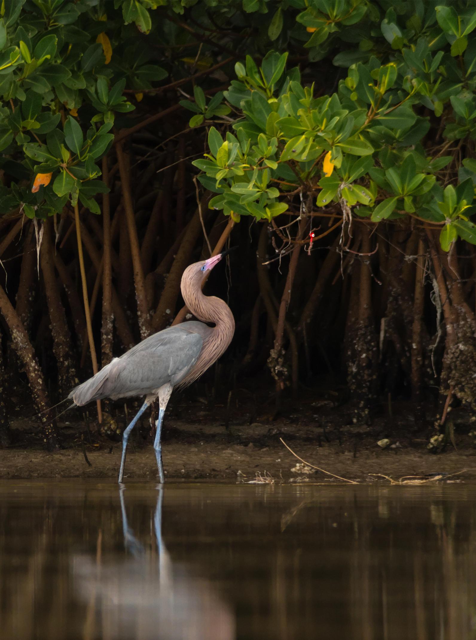 Reddish Egret in the Everglades.