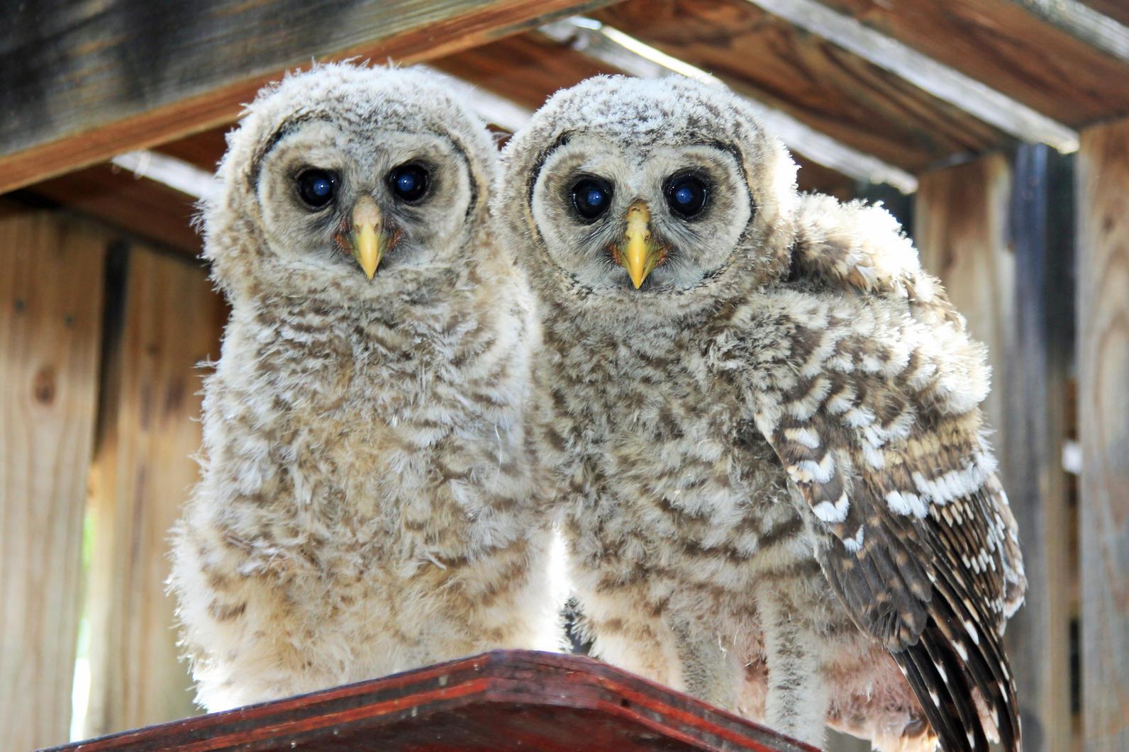 Barred Owl Babies