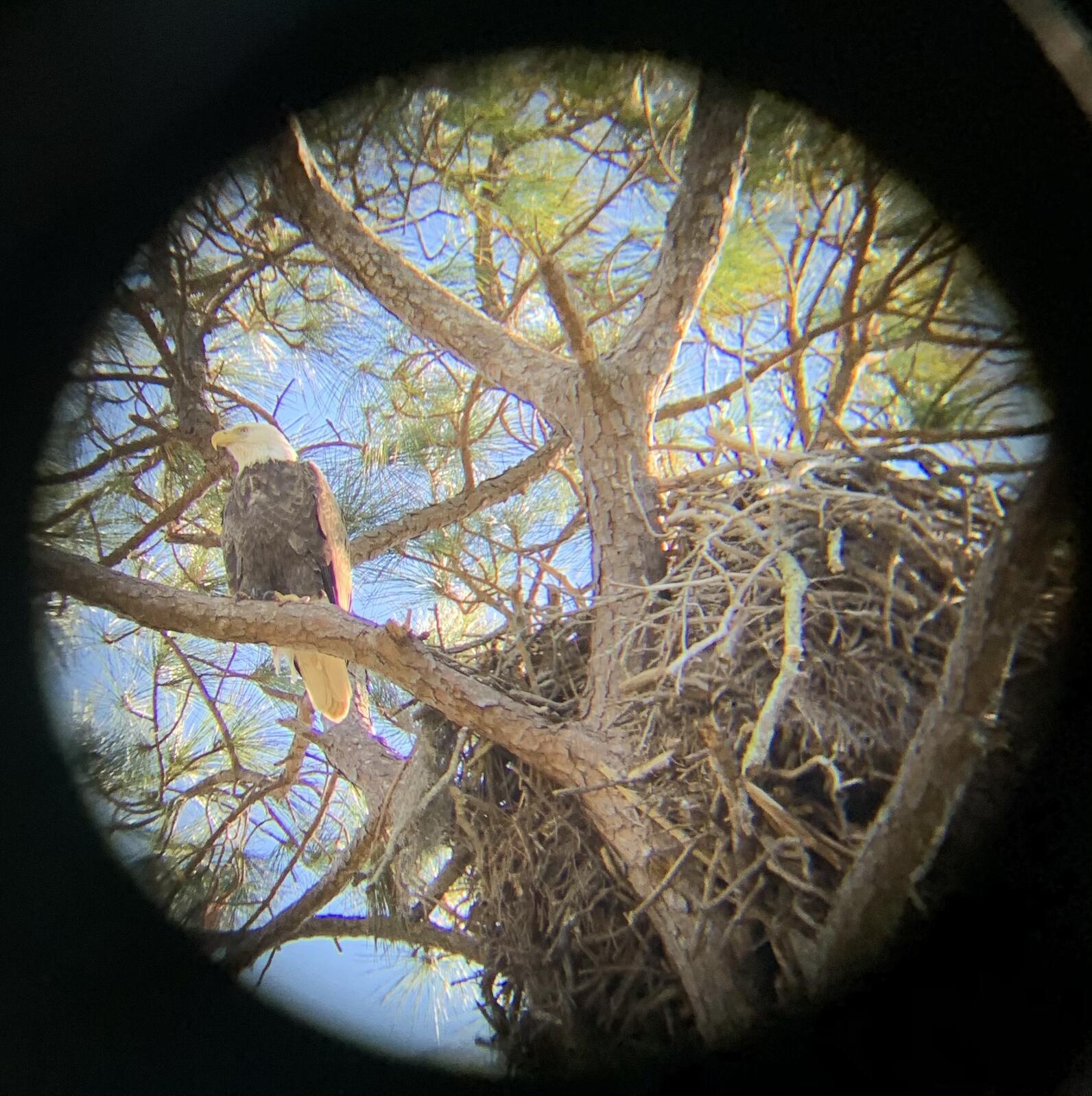 Bald Eagle nest seen through binoculars. Photo: Amanda Hull.