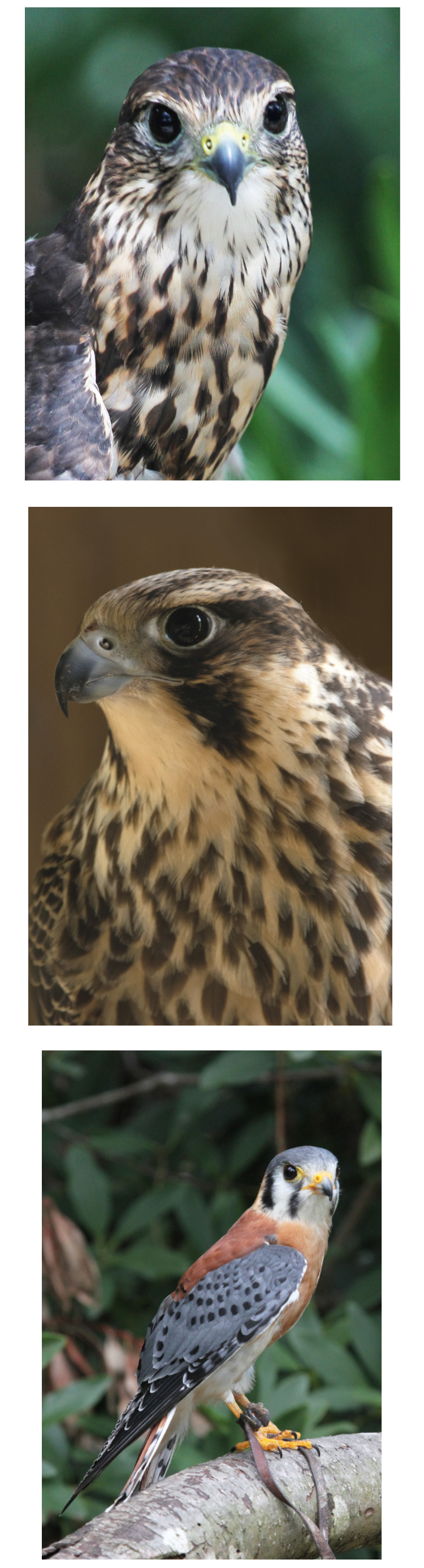 photos of falcons