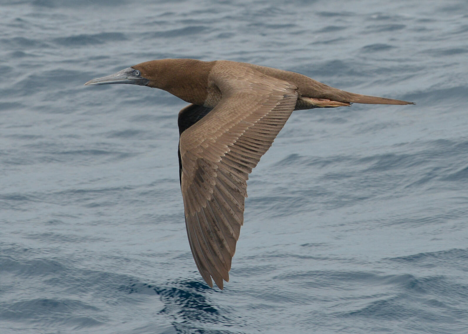 Spotted! A Brown Booby enters the Florida Big Year checklist.