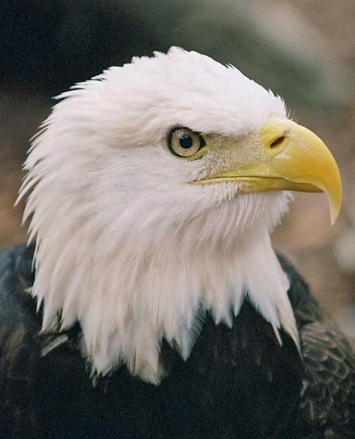 photo of a bald eagle named Francis