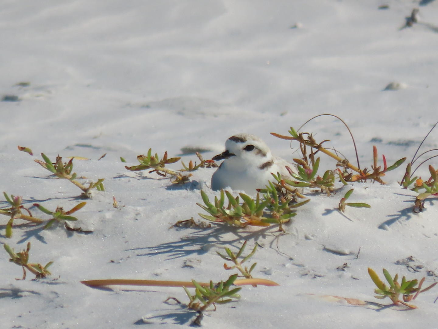 Snowy Plover incubating a nest. Photo: Kylie Wilson.