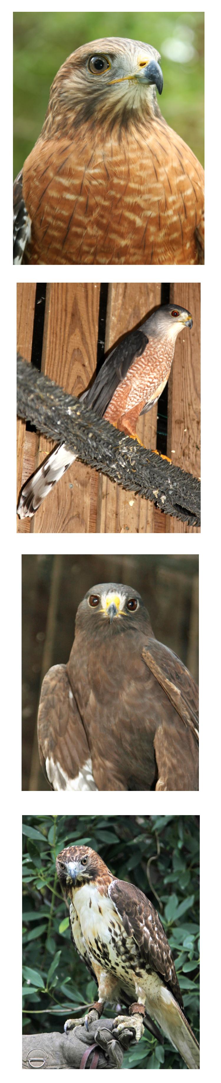 photos of hawks