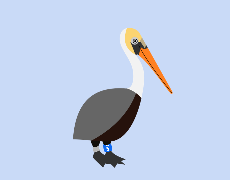 AHJ the banded Brown Pelican.