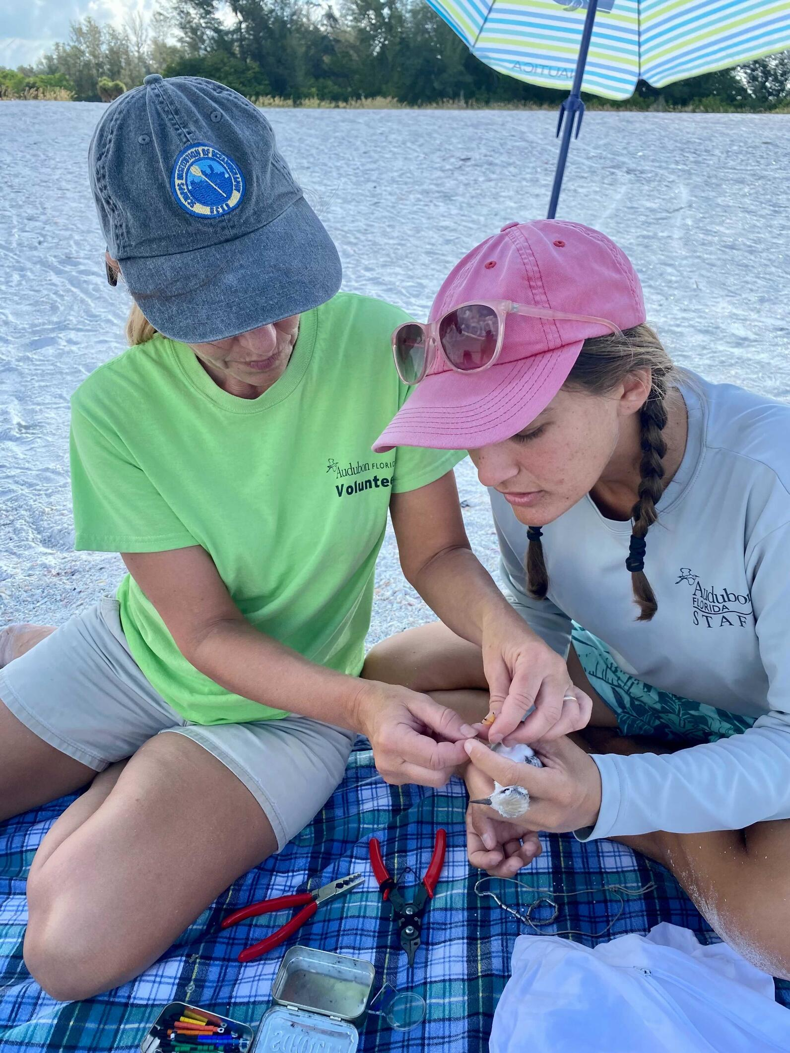 Kylie bands least tern chicks. This photo was taken in compliance with state and federal research permits.