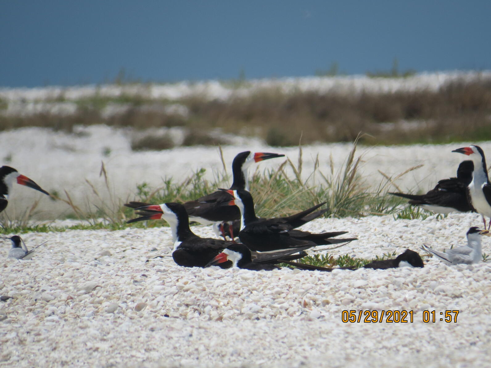 Black Skimmers and Least Terns nesting together on Second Chance CWA.
