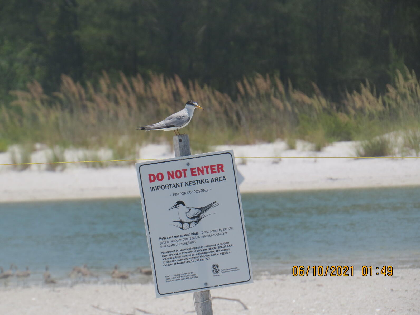Least Tern on a posting around its colony on a shoal in Collier County.
