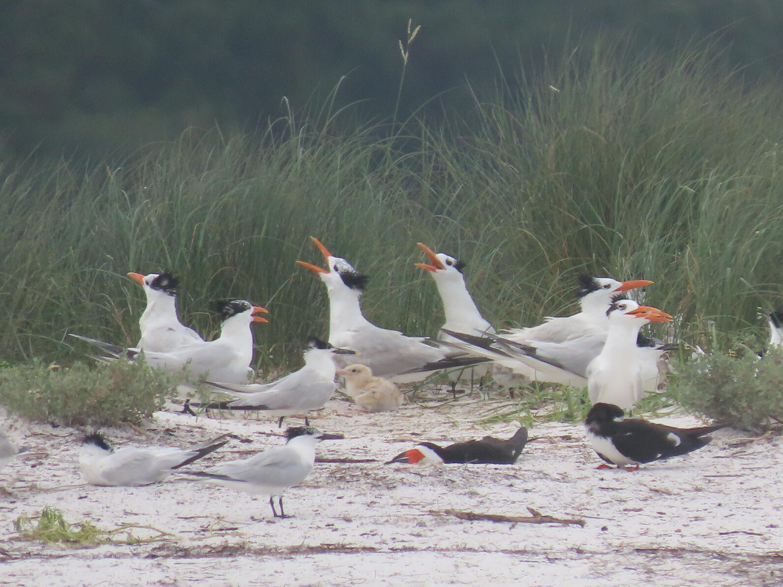 Nesting Royal Terns, Sandwich Terns, and Black Skimmers, as well as a Royal Tern chick.