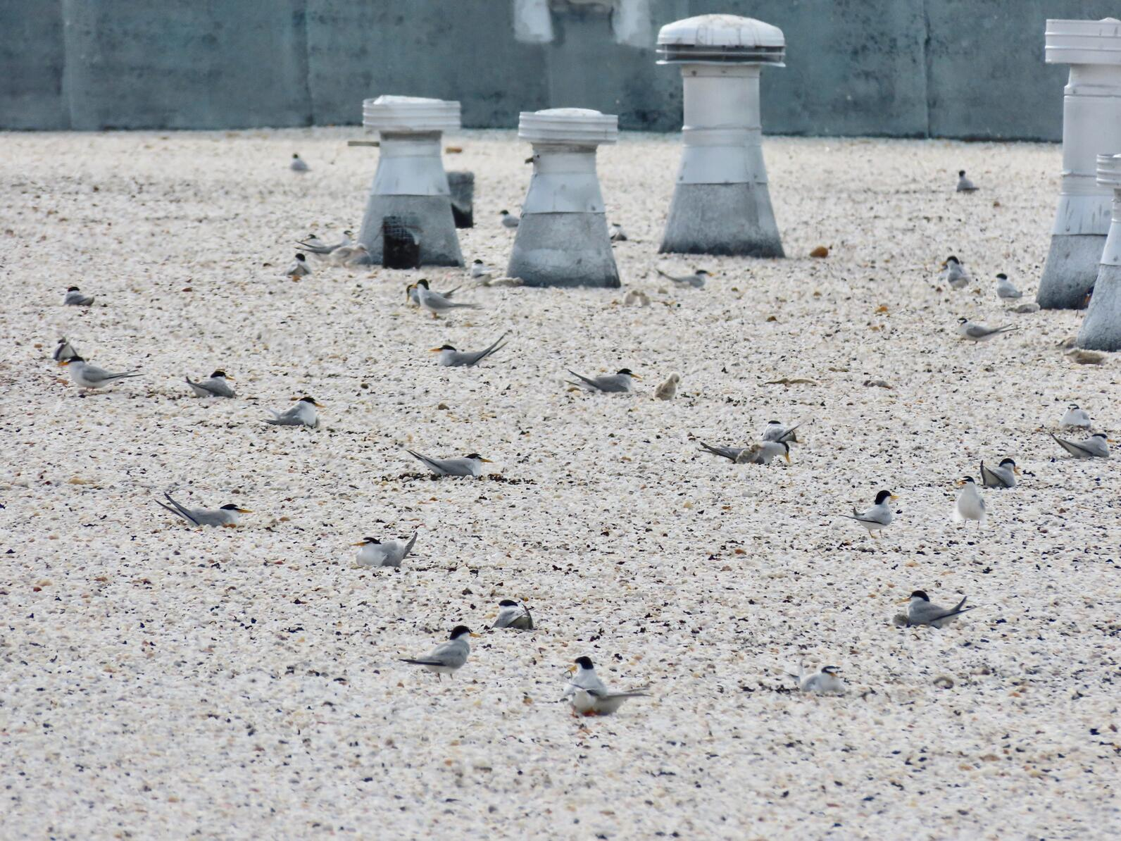 Rooftop colony of Least Terns.