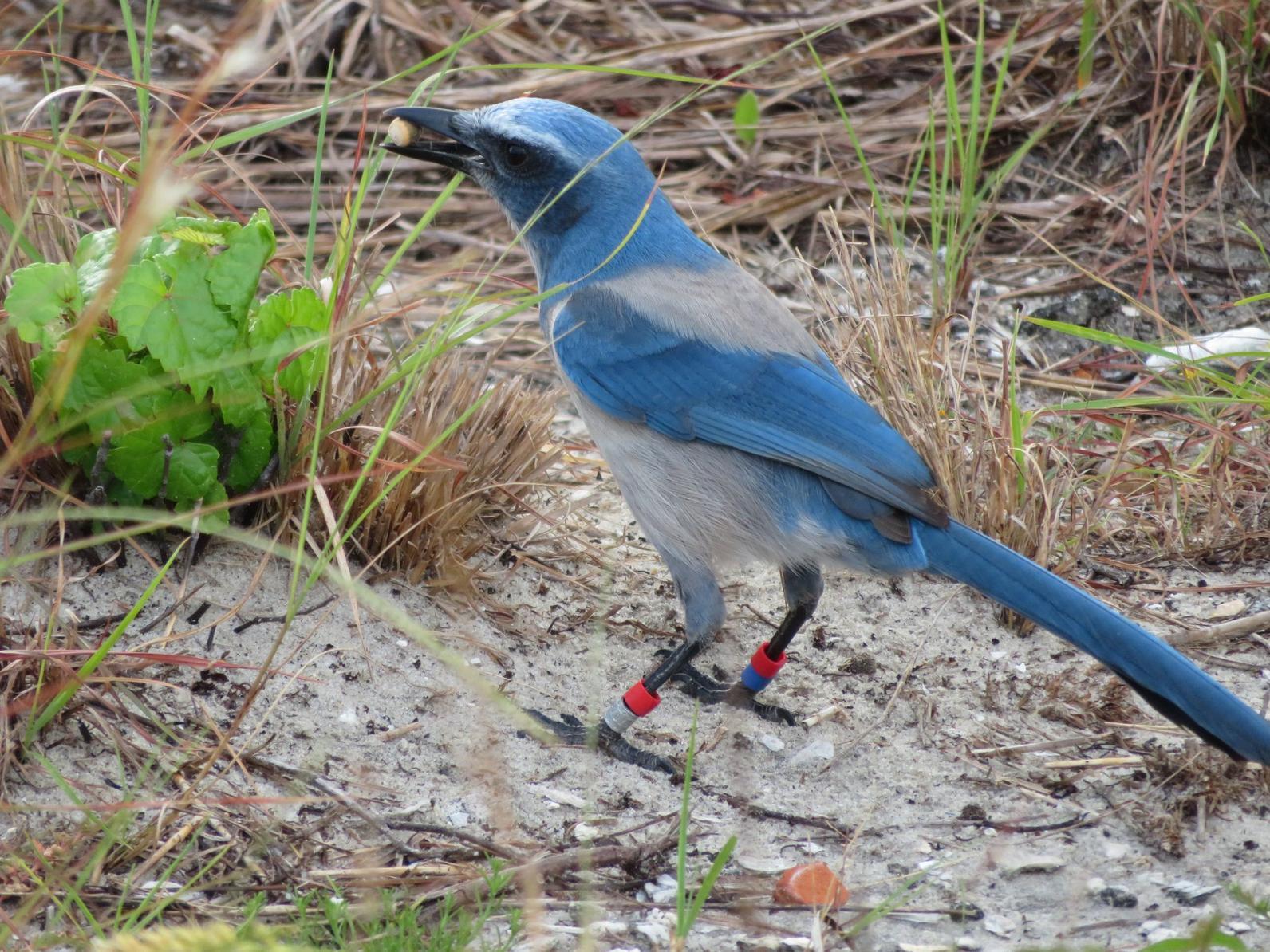 Florida Scrub-Jay.