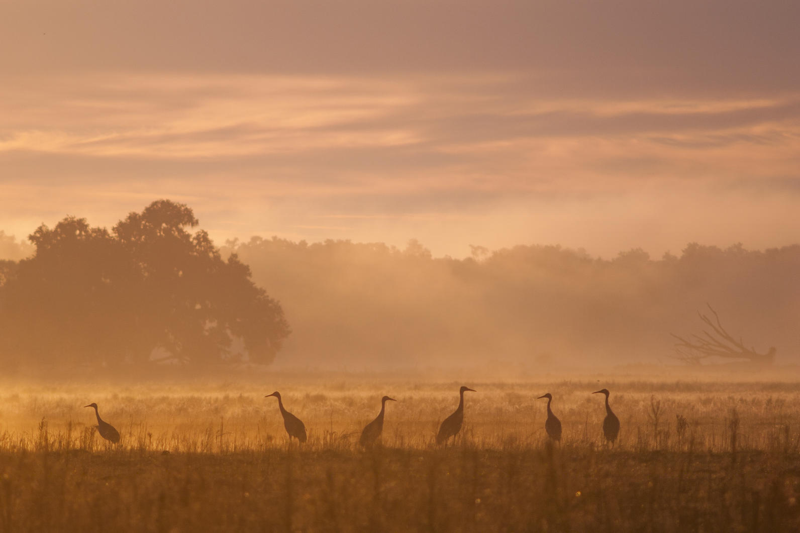 Sandhill Crane silhouettes at sunrise on Kanapaha Prairie.