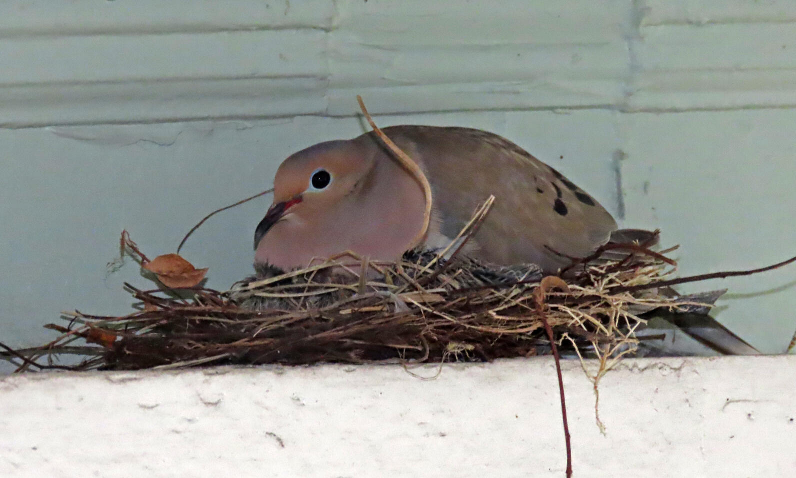 The front porch Mourning Dove is now on its second brood! Photo: Mark Rachal.