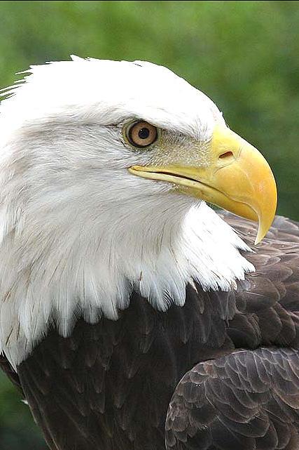 photo of a bald eagle named paige