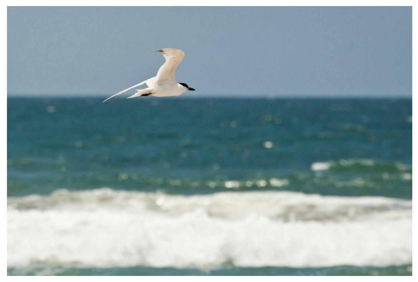 Gull-billed Tern. Photo: Photo: USFWS/Flickr (CC BY 2.0).