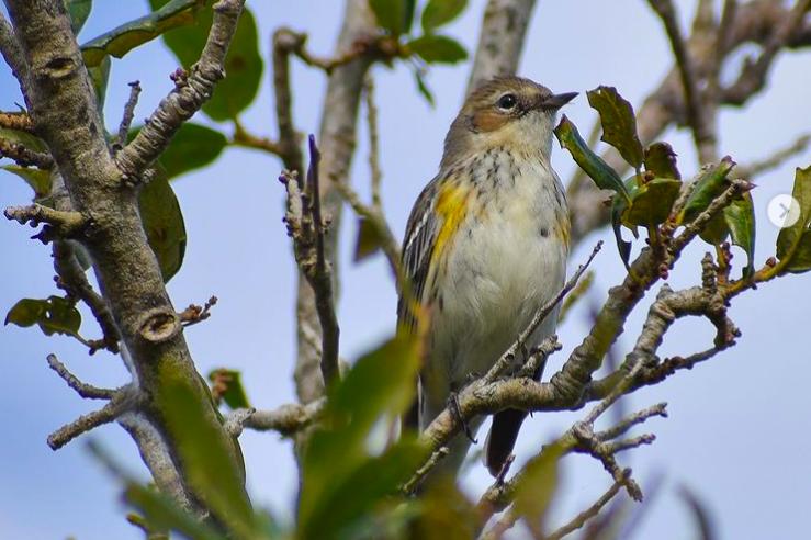 Yellow-rumped Warbler. Photo: Vanessa Miot.